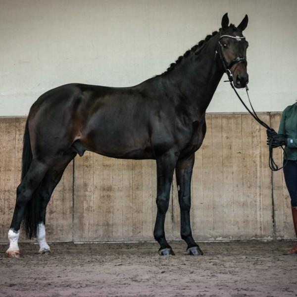 Getalenteerde dressuurpaarden welke door Inge Coenen getraind en opgeleid zijn