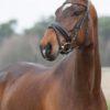 dressuur paarden