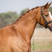 inkoop en verkoop van getalenteerde dressuurpaarden